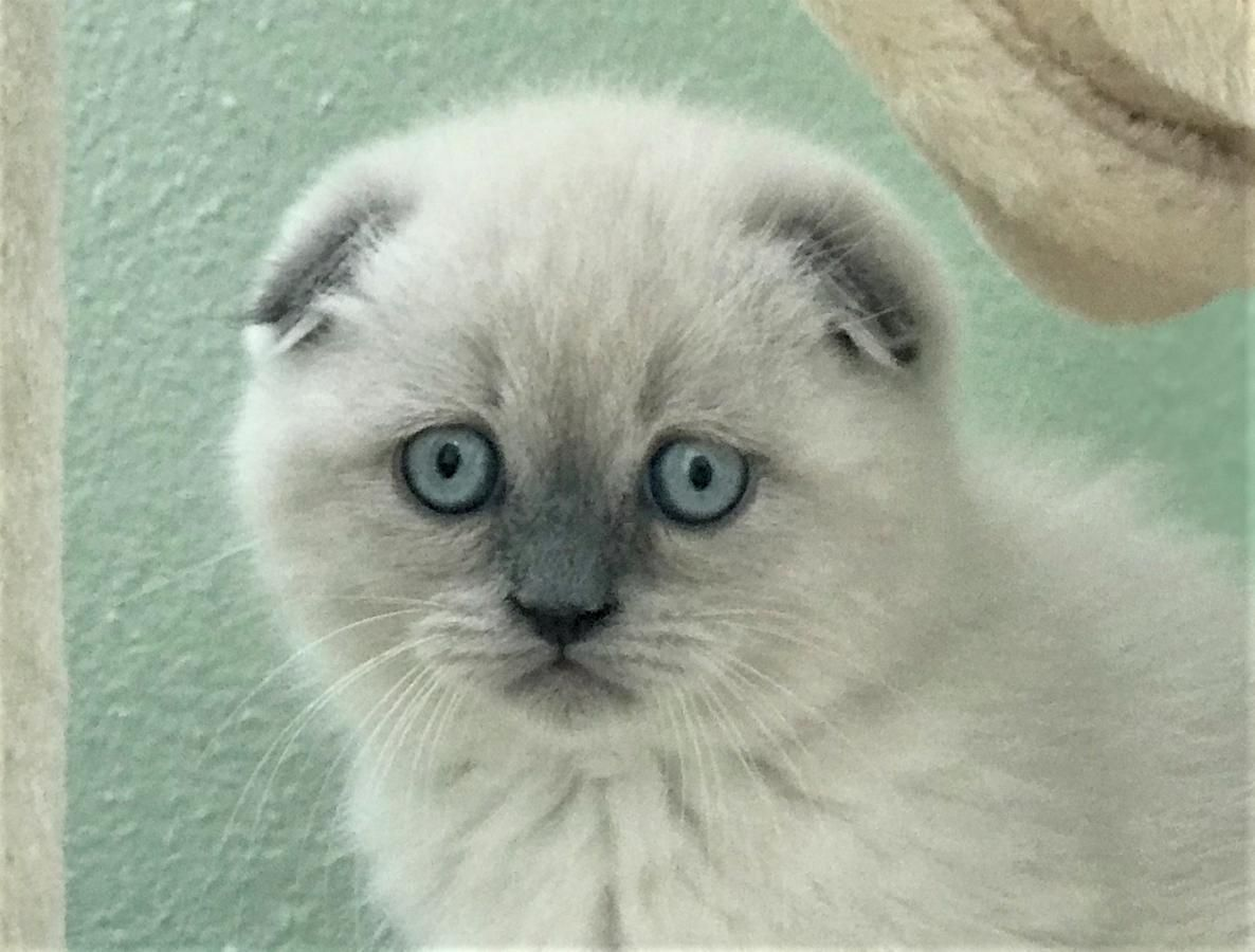 Scottish Fold And British Shorthair Longhair Kittens For Sale Orlando Fl In Hoobly Classifieds Scottish Fold Elephant Rescue British Shorthair Kittens