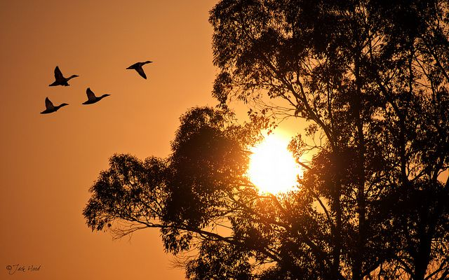 Geese At Sunset - Explored | Flickr – Condivisione di foto!