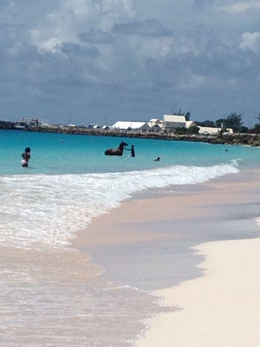 Horses going for a dip in Carlisle Bay Barbados