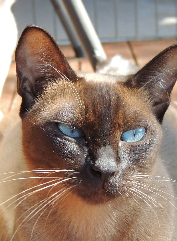 Elsprite Tonkinese Toygers Tonkinese Cat Toyger Cat