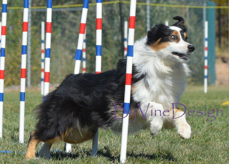 Oct 2012 Zia Asca Agility Trial Albuquerque Dog Agility Dogs