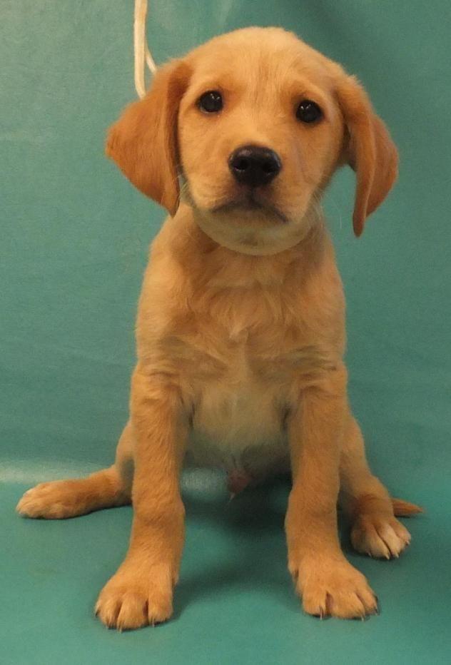 Adopt Quasi On Dogs Puppies Golden Retriever Mix Adoption