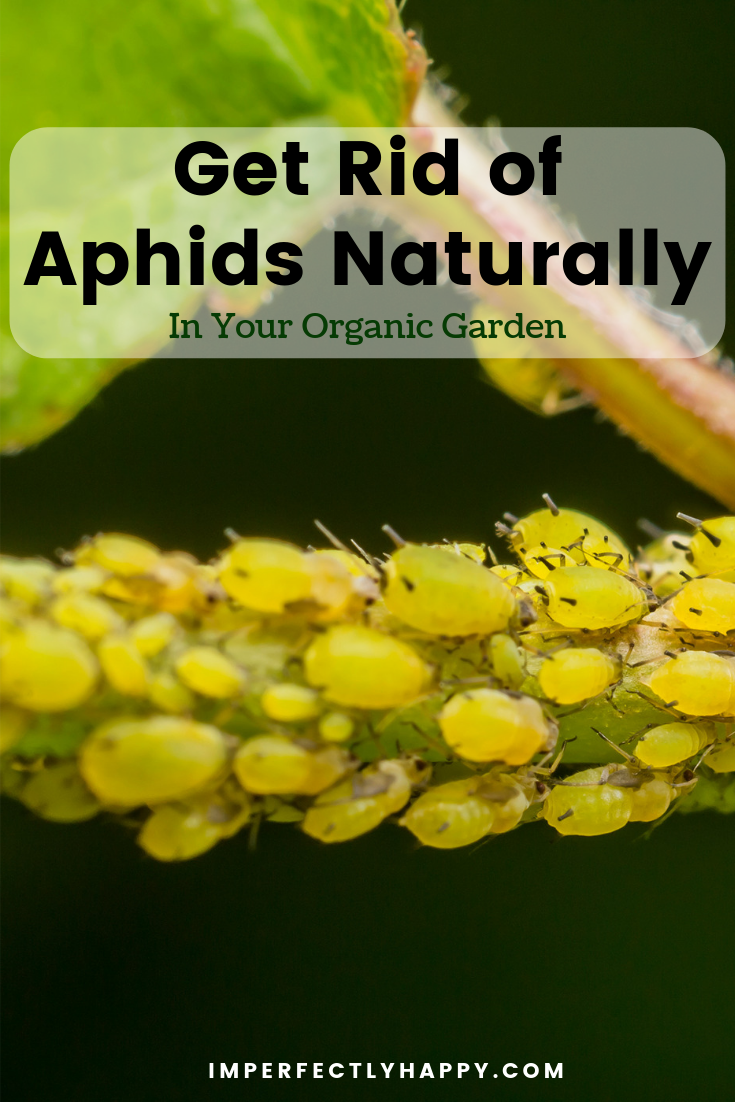 Get Rid Of Aphids Naturally Organic Gardening Organic Gardening Tips Aphids