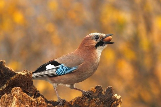 Going gray is something most people worryabout at some point in their lives. Curiously, birds do not share the same problem, as their plumage always remains a vibrant collage of colors until they die. Scientists have now discovered how this is possible, at least in terms of the Eurasian Jay: It generates its patterns by manipulating the growth of many tiny structures on its feathers, instead of using dyes or pigments that would fade over time.