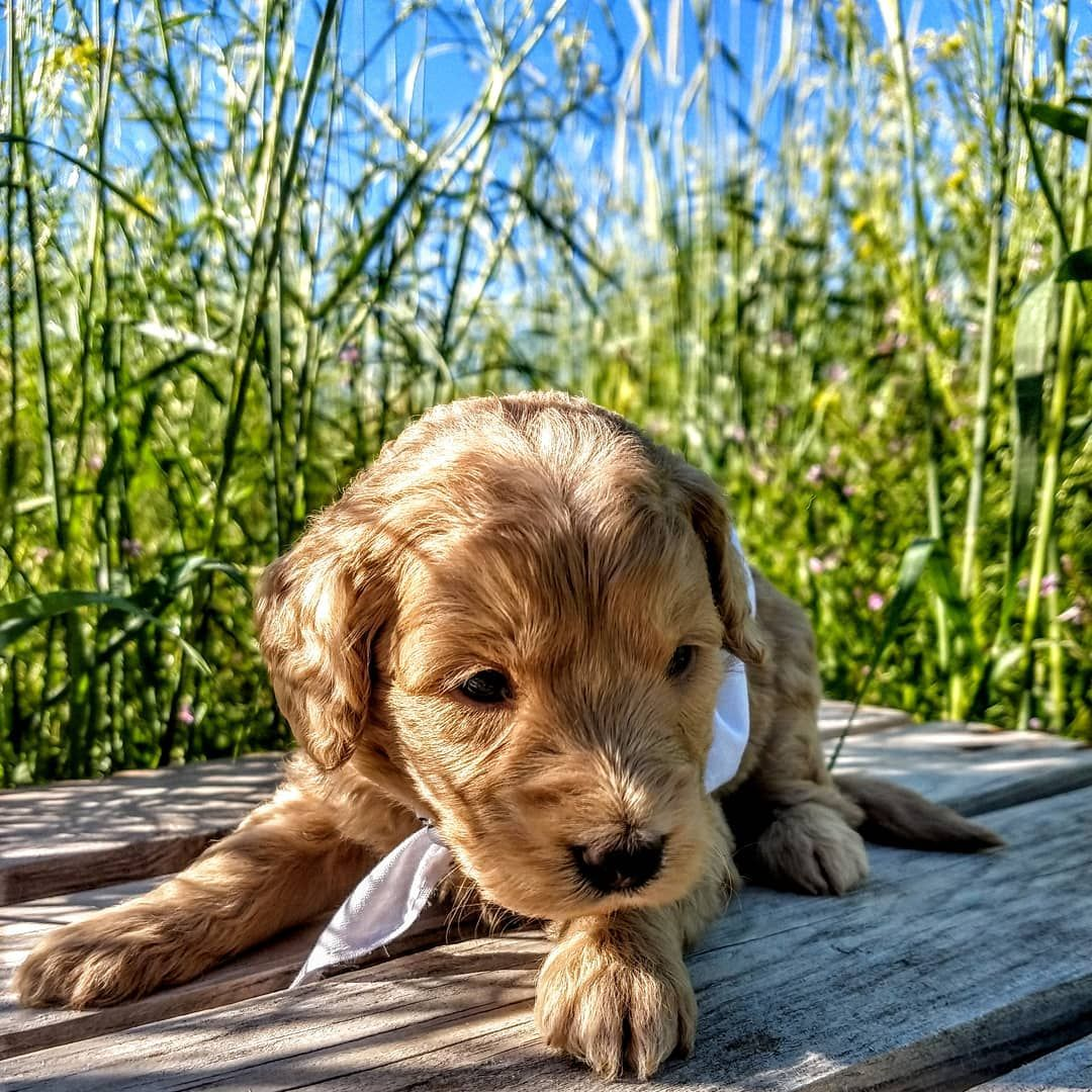 White Collar Boy Says Hello Hes So Cute Doodle Dogsofinstagram Teacupgoldendoodle Goldendoodle Puppiesforsale Puppy Pr In 2020 Goldendoodle Cute Doodles Puppies