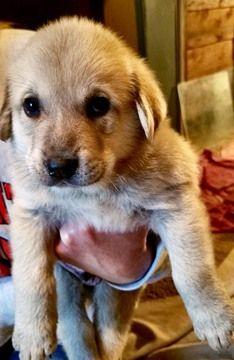 Anatolian Shepherd Labrador Retriever Mix Puppy For Sale In Kansas