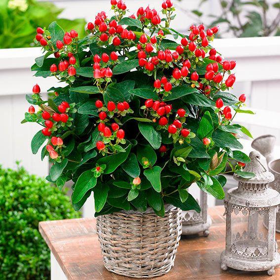 Immergrün Johanniskraut Magical Red Garten Pinterest Weg - gartenpflanzen winterhart immergrun