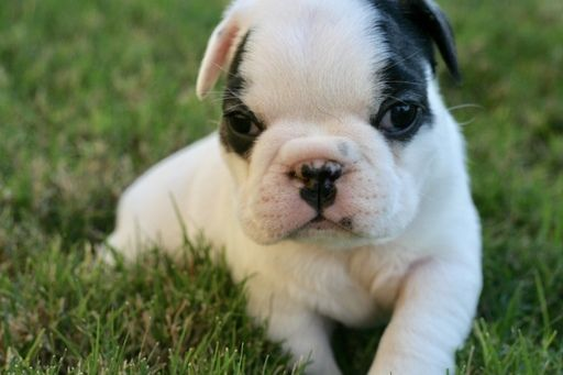 Meet Bacon A Cute Olde English Bulldogge Puppy For Sale For 1 600