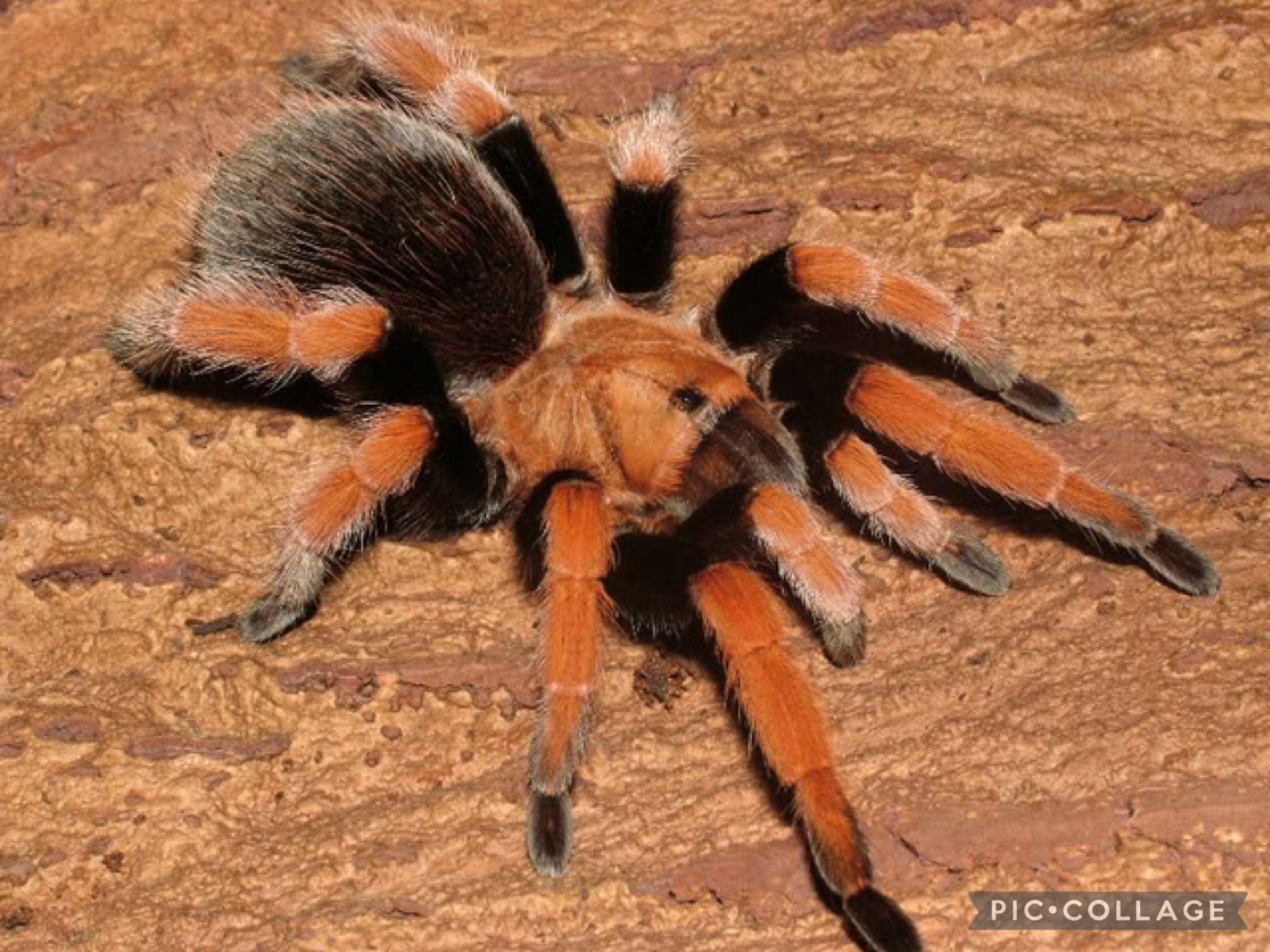 Tarantula Tarantula Species Of A Arachnids Spiders Scorpions Ticks Mites And Wrasses Diet Insects Predators Frog In 2021