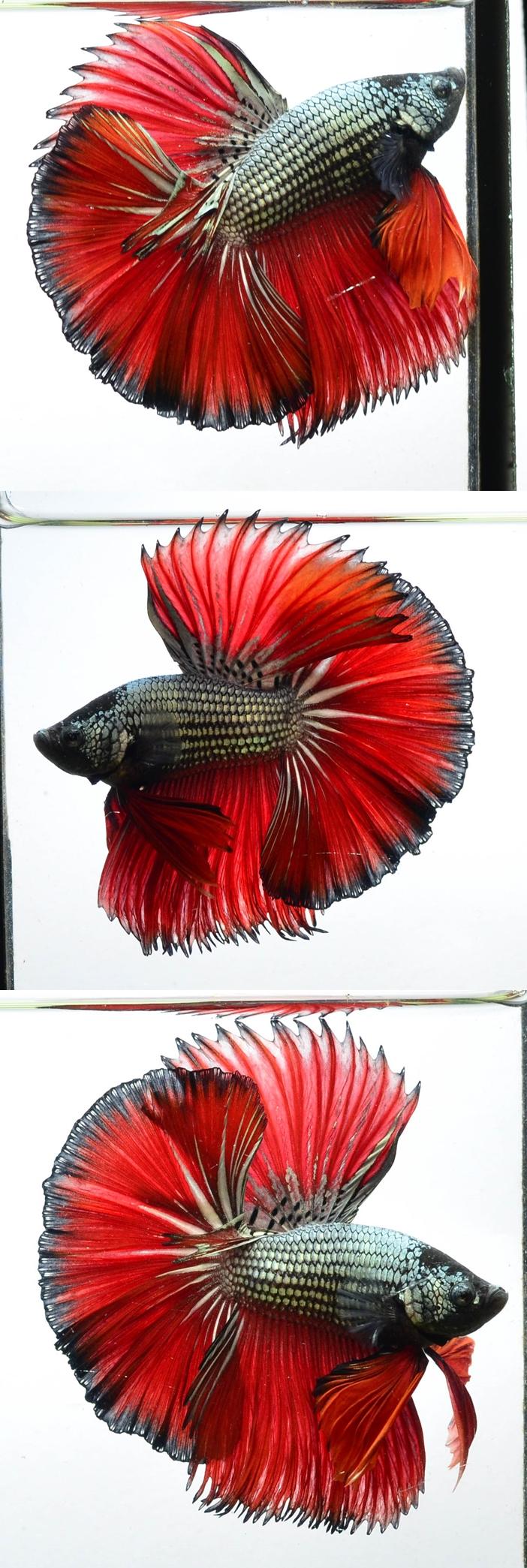 fwbettashm1488620802 - Hm Copper Red Male | Fighting Fish ...
