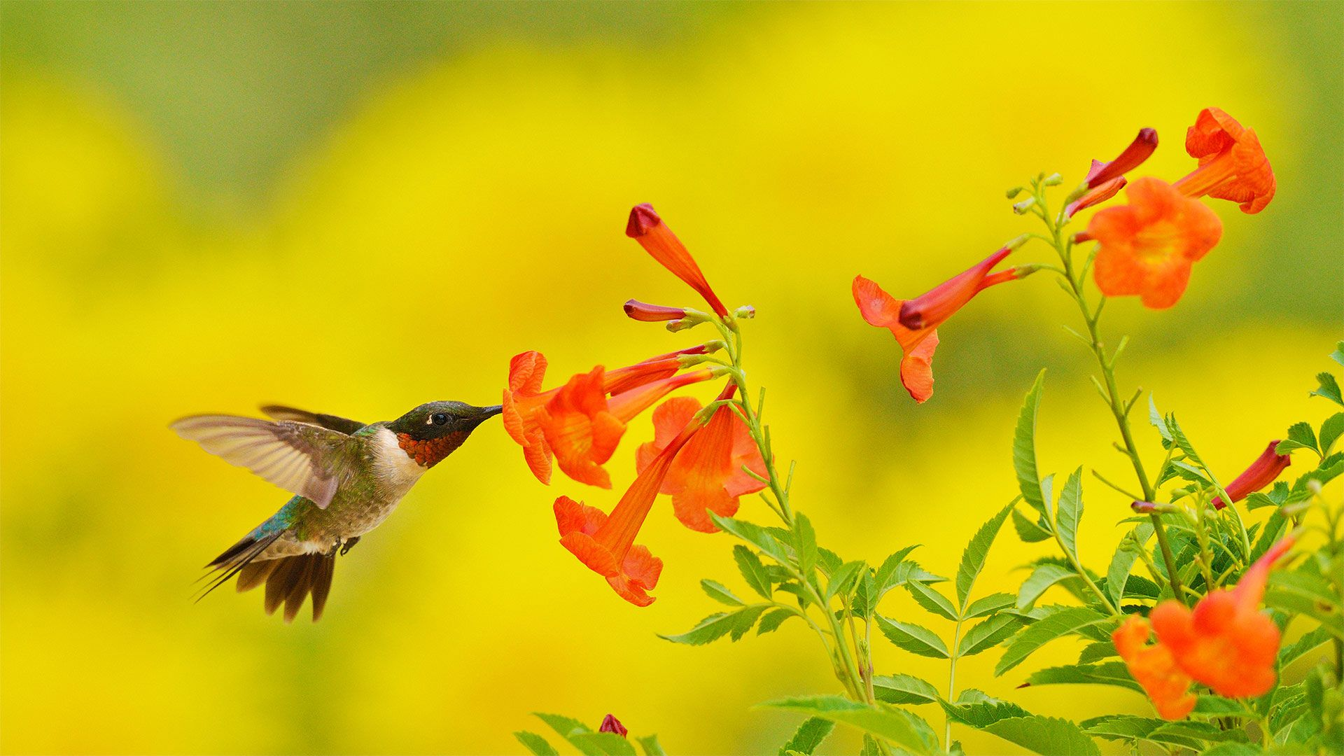 Rubythroated hummingbird feeding on yellow bells in the