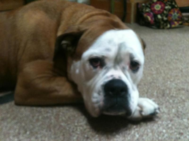 Meet Lola A Petfinder Adoptable American Bulldog Dog Avon Lake