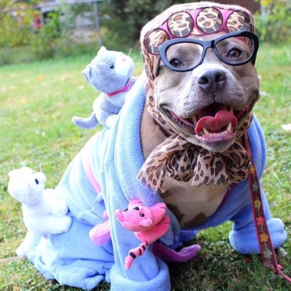 poodle pitbull hahaha pin tastic poodles the best halloween costume by far a crazy cat lady
