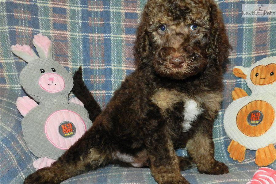Hoppy Labradoodle Puppy For Sale Near Abilene Texas 821e1b55