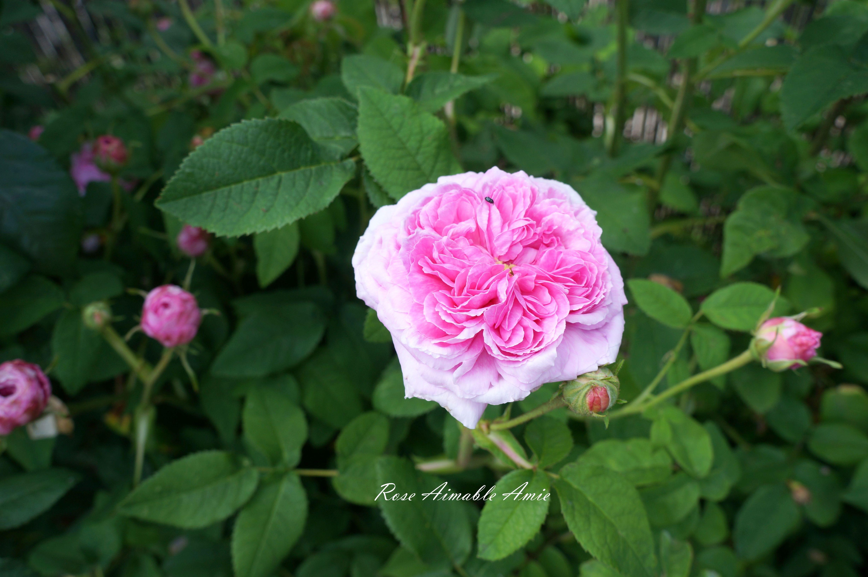 #oldroses #roses #gardenroses #pinkrose