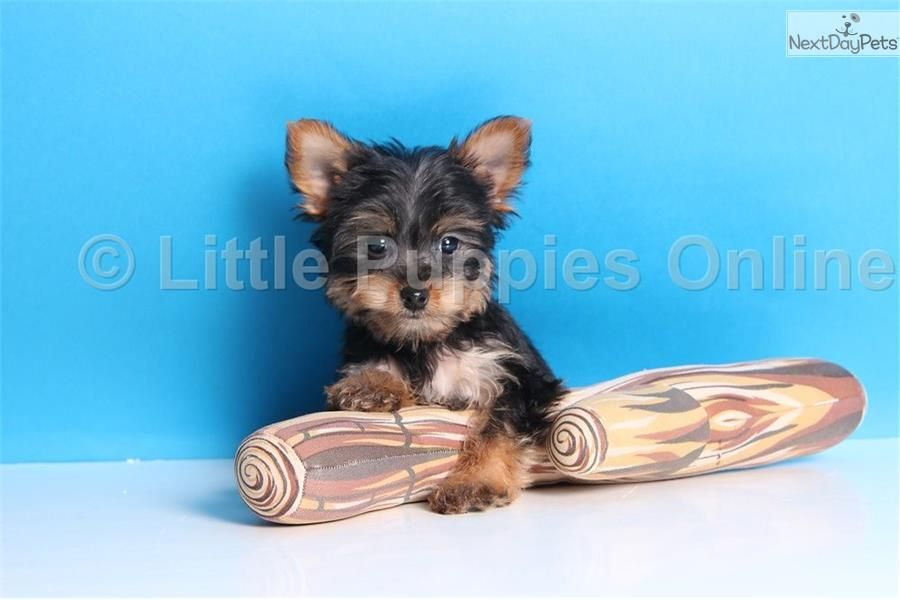 Yorkshire Terrier Yorkie Puppy For Sale Near Columbus Ohio 65168696 D551
