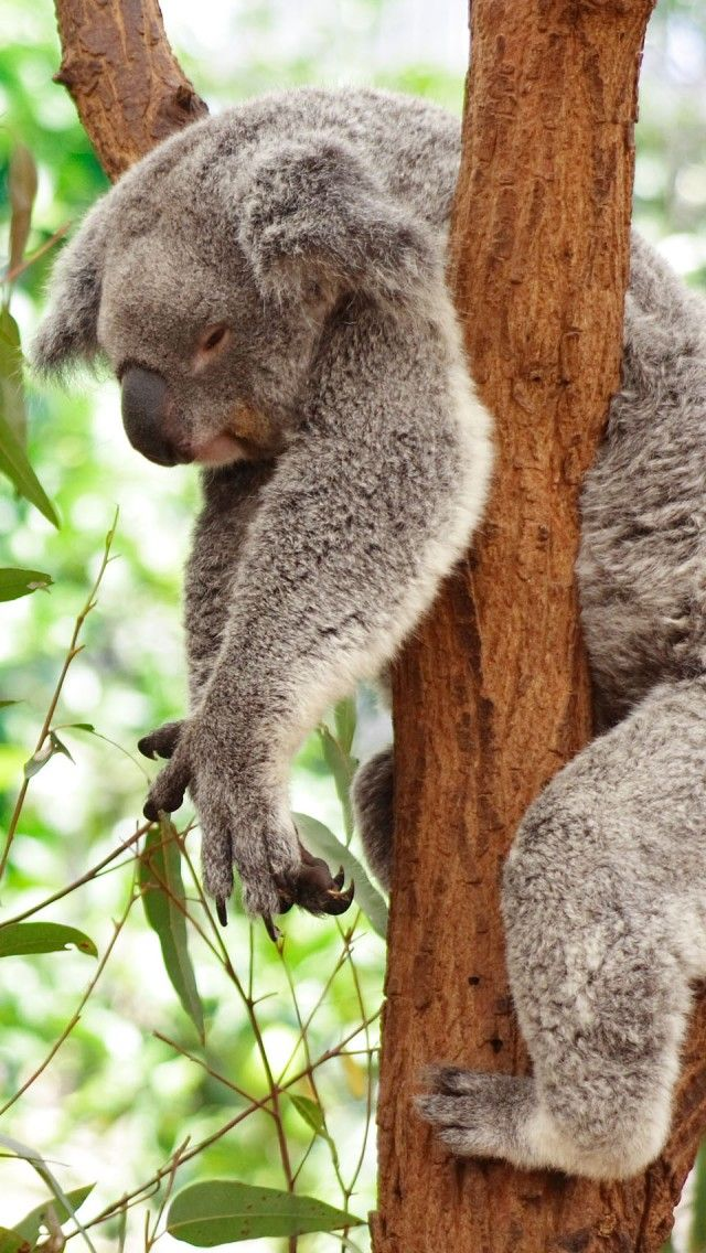 Sleeping Koala Bear Animals Iphone 5 Wallpaper Funny Koala