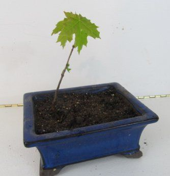 Maple Bonsai Seedling Transplanting Bonsai Bonsai Bonsai Tree Seedlings
