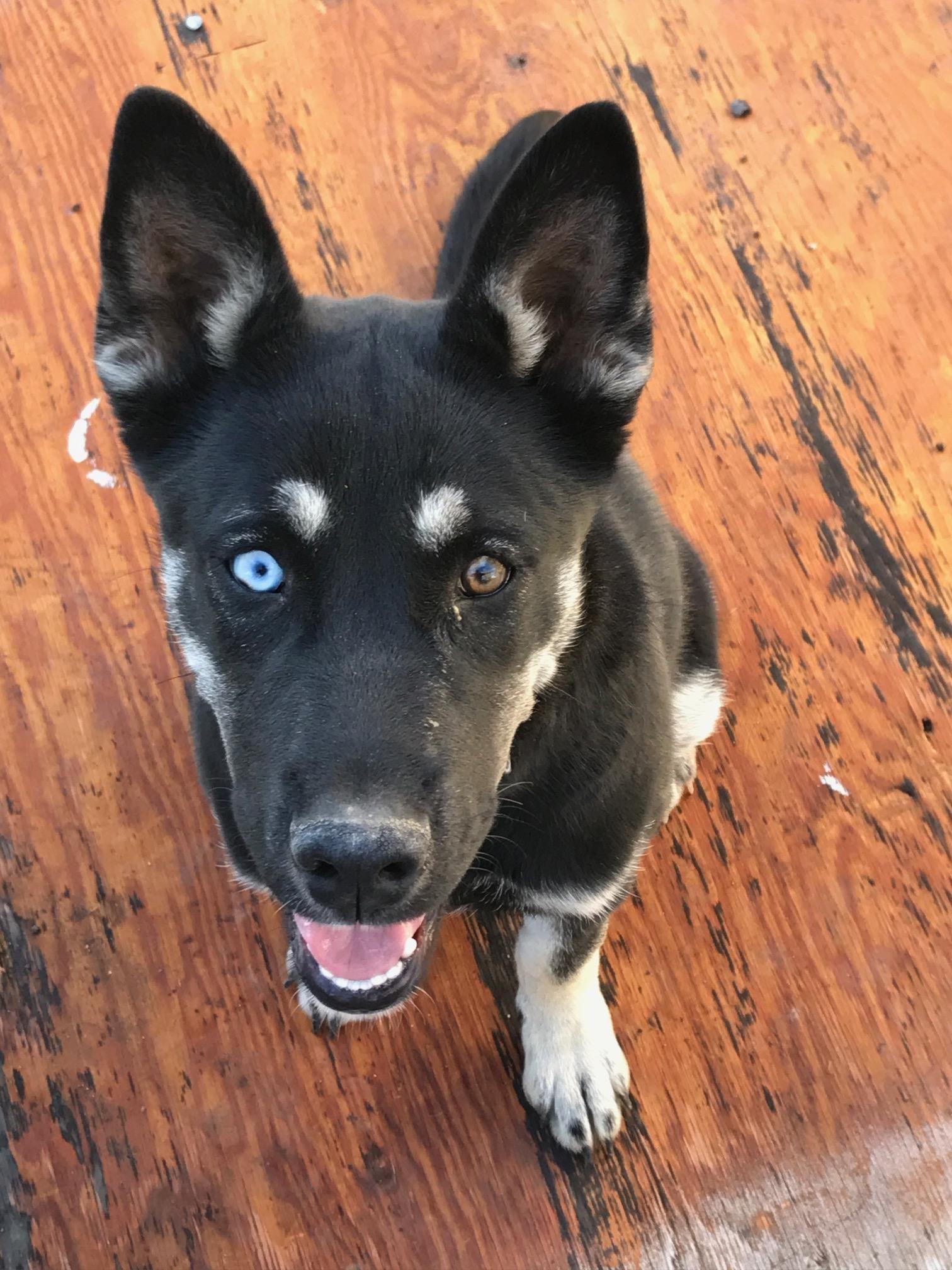 Adopt Athena Pending On With Images Siberian Husky Mix German Shepherd Dogs Siberian Husky