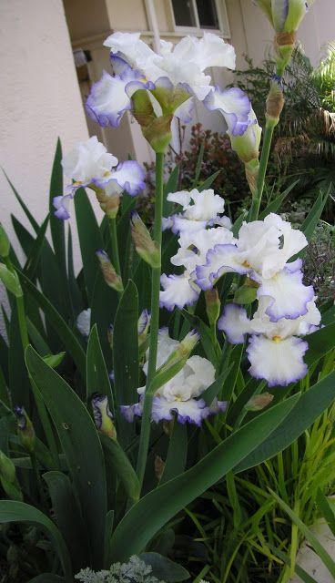 World Of Irises Strikingly Beautiful Flowers Beautiful Flowers Iris Garden Flowers