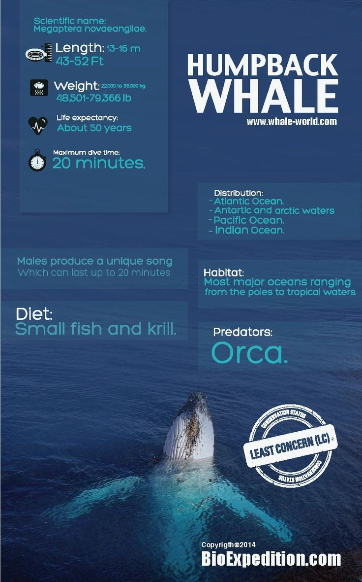 Humpback Whale Whale shark facts, Whale facts, Shark facts