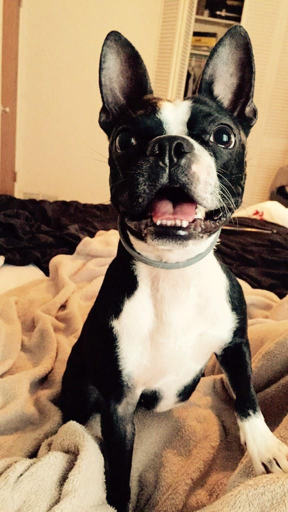 This Boston Terrier Named Dash Wanted To Say Hello From Tampa Florida With Images Boston Terrier Boston Terrier Names Boston Terrier Dog