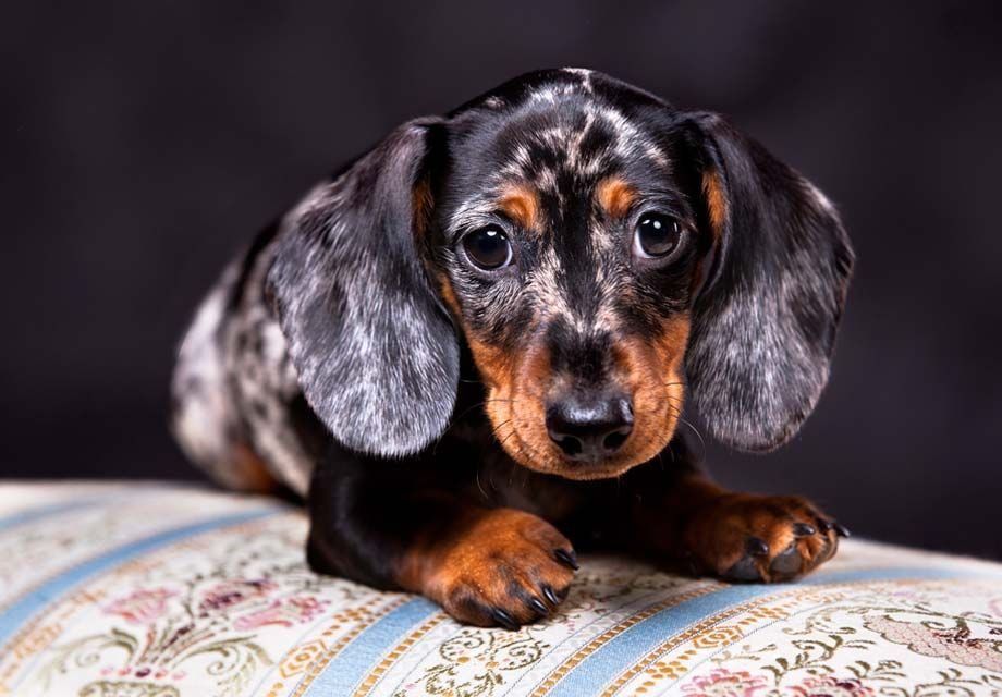 Find Dachshund Puppies In Your Area And Helpful Tips And Info All
