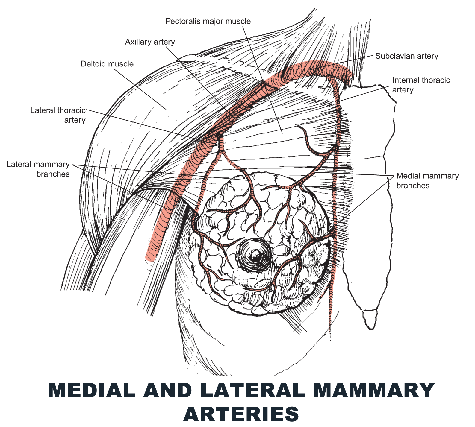 Medial and Lateral Mammary Arteries - #anatomy images illustrations ...