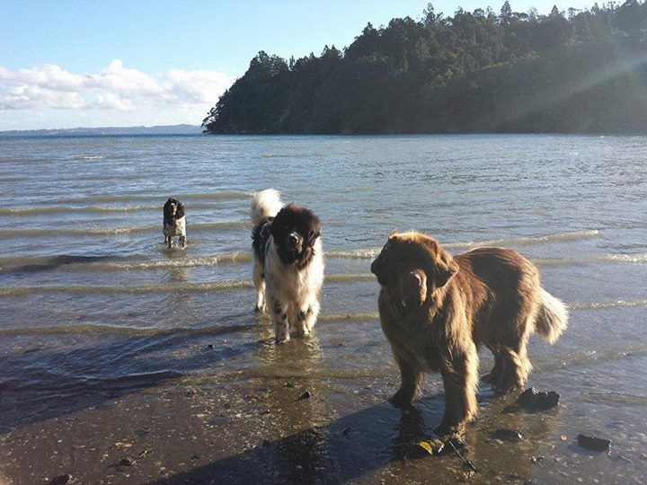 These boys have their own Facebook page called Kiwi Newfy's at the Fringe of Heaven. if ya want to check them out.. They live in Titirangi (Auckland , New Zealand), and the translation of the word Titirangi.. means... On the Fringe of Heaven. Benson and Boston live a grand ol life for sure