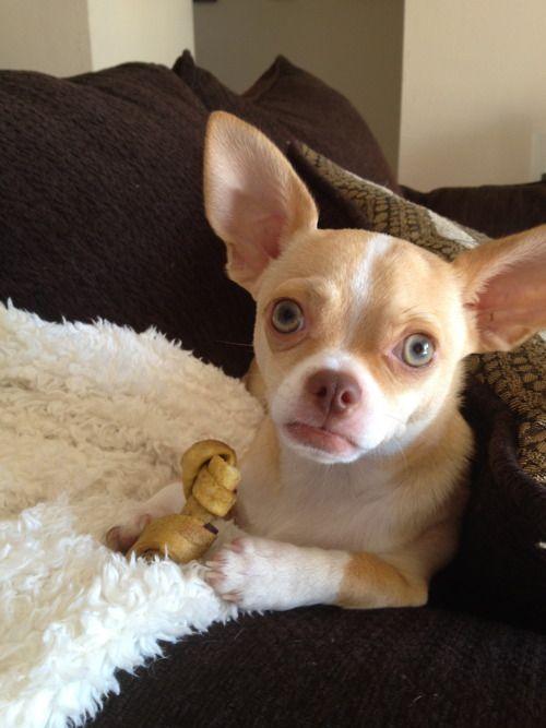 Chihuahuas Tumblr Chihuahua Love Chihuahua Puppies I Love Dogs