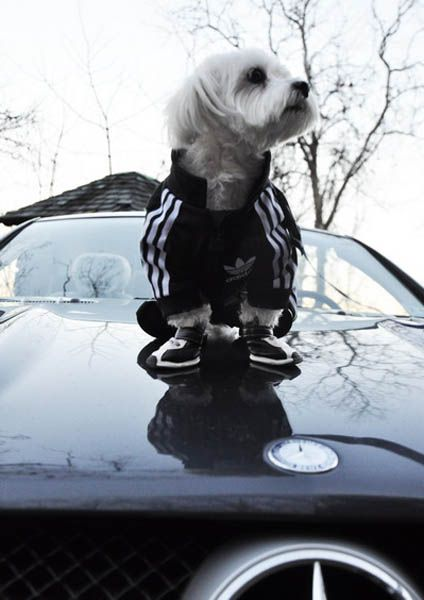 Adidas Sportswear and Sneakers for Small Dogs, Fun Pet Design ...