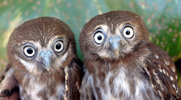 Pygmy Owls donated to the National Zoo of Managua