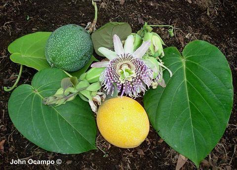 Pin On Passiflora De Bolivia