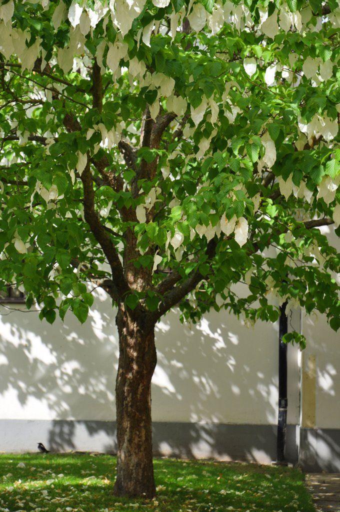 17 best images about davidia involucrata on pinterest for Specimen trees