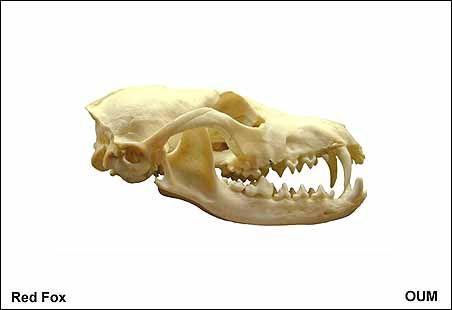 The Learning Zone The Living Animal Animals Fox Skull Black Bear