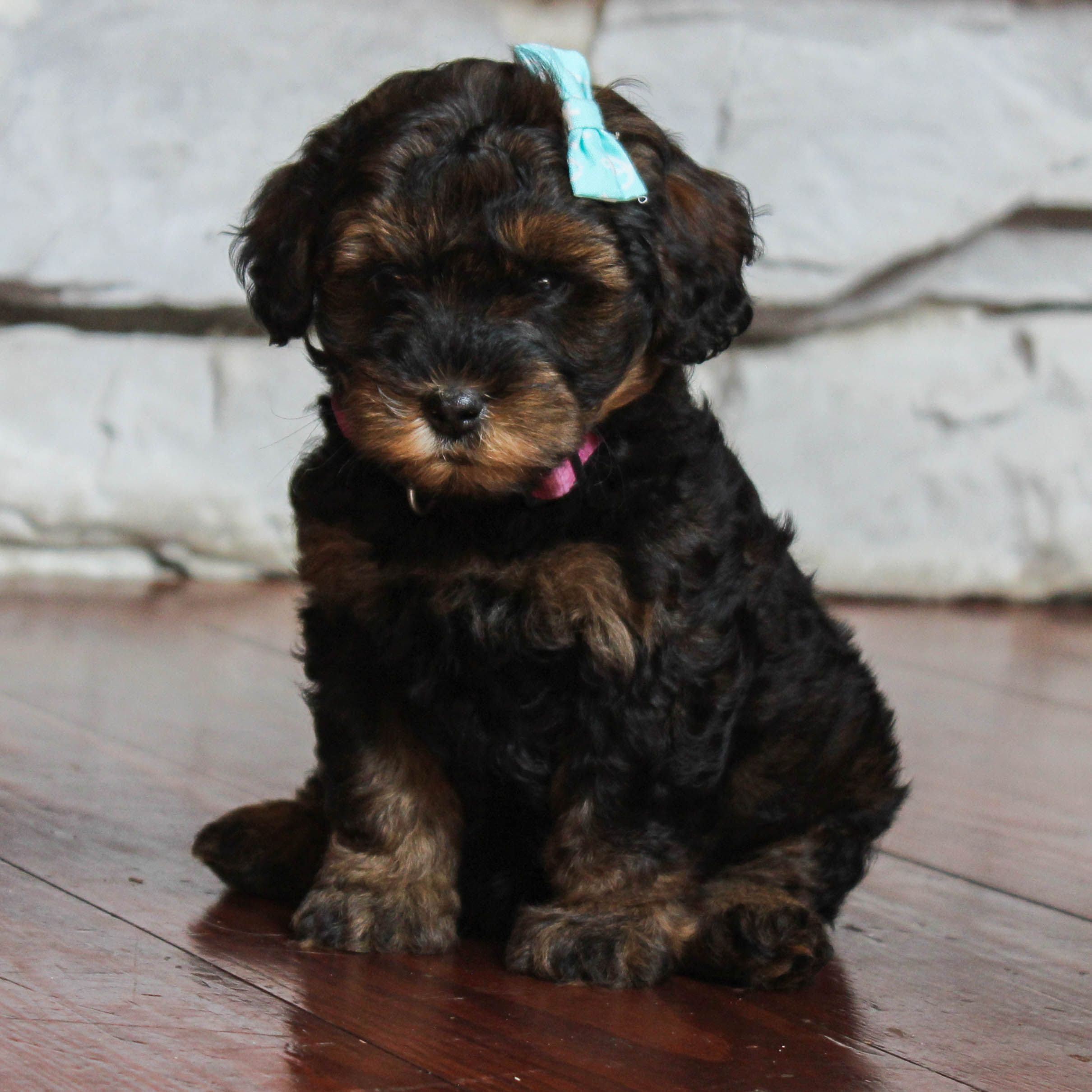Puppies for Sale (With images) Yorkie poo, Small puppies