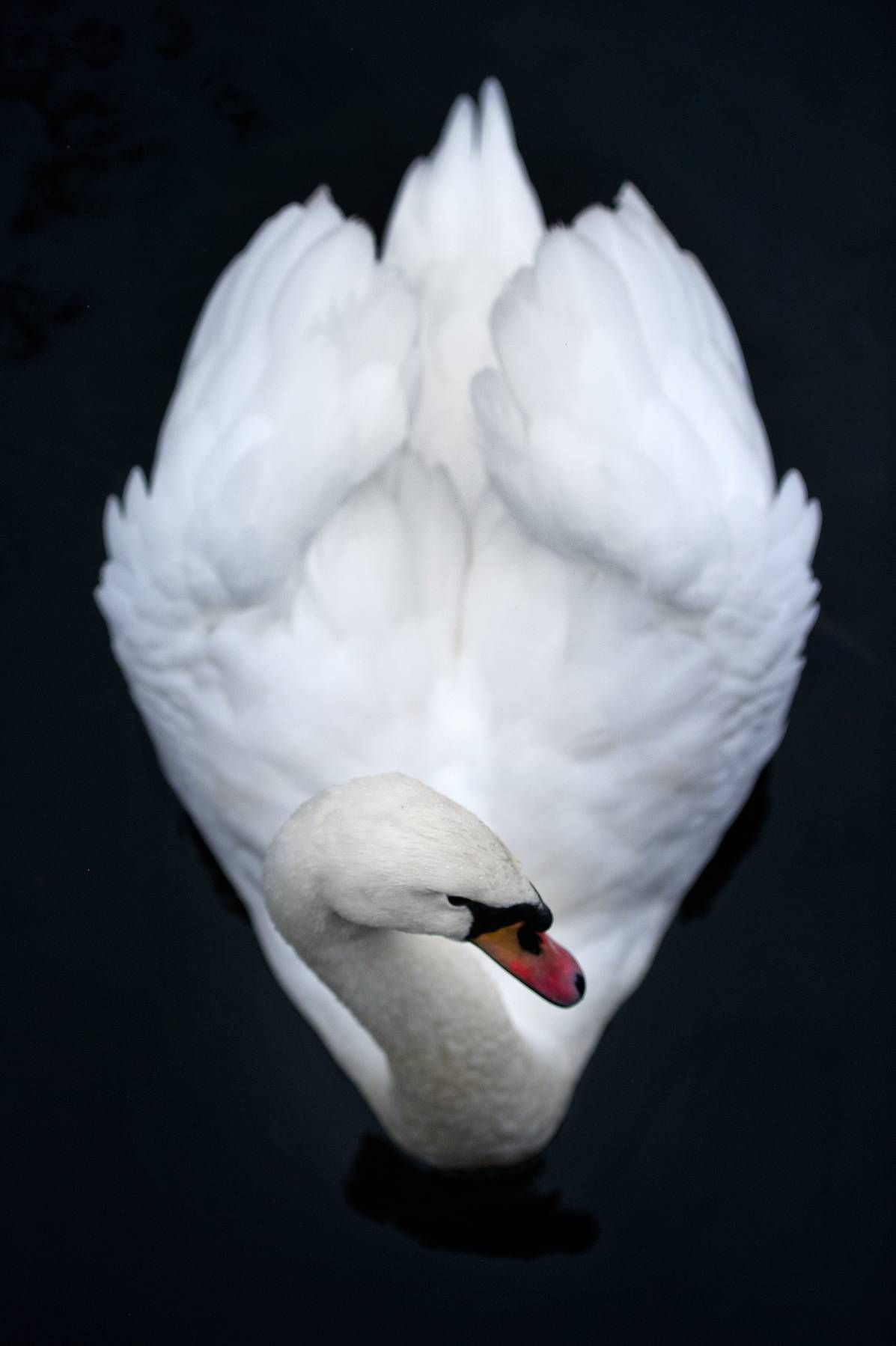 Winter White Inspiration Gallery With Images Beautiful Swan White Bird Swan Love