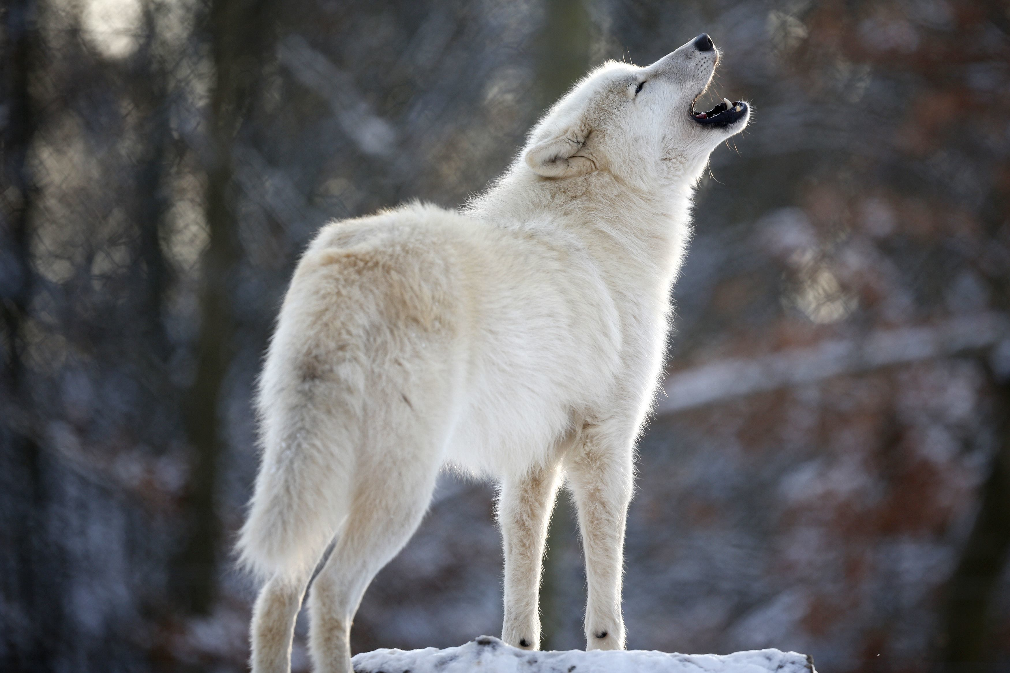 Wishing You All A Beautiful Day Be Well Be Happy Be Safe My Friends Loup Blanc Loup Arctique Chien Loup