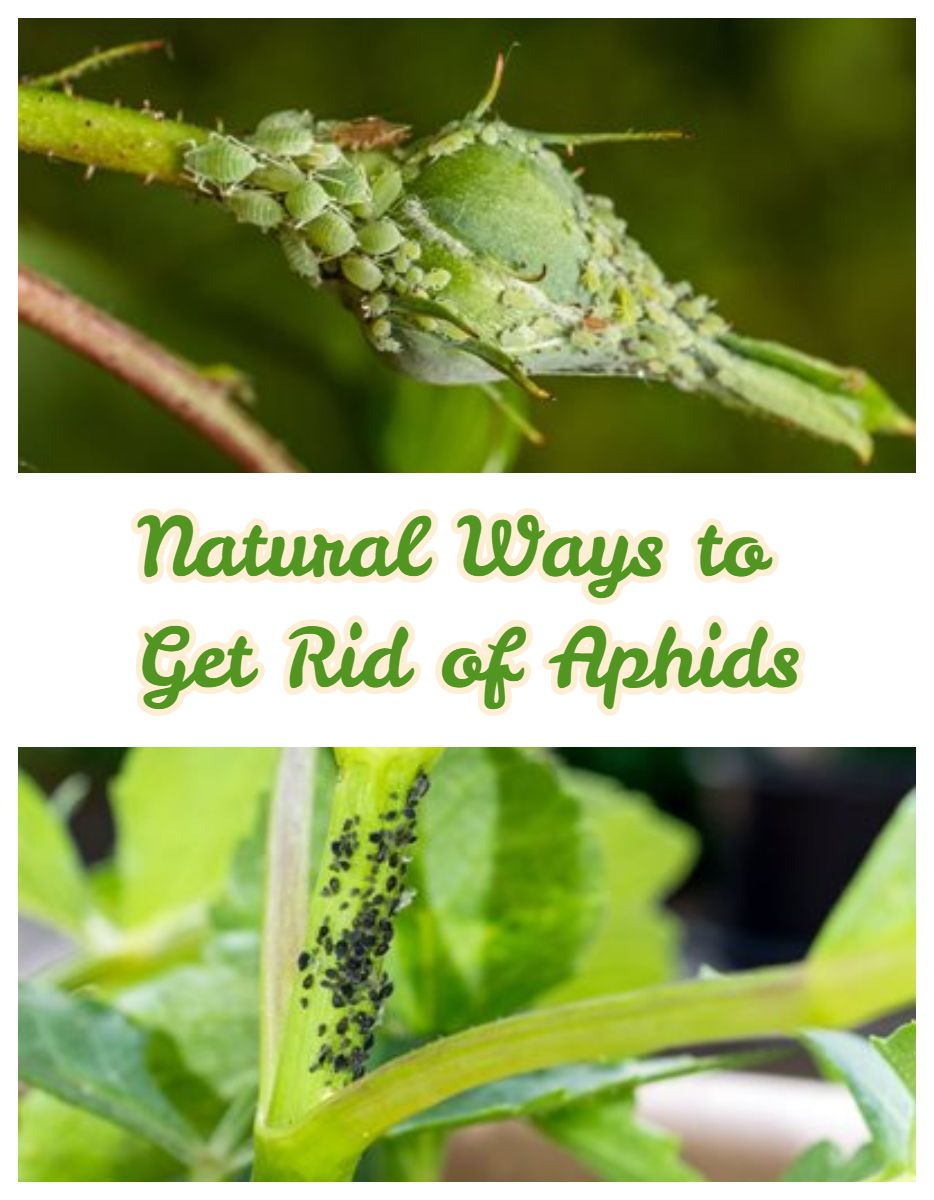 How To Get Rid Of Aphids Natural Aphid Control Gardening Advice Get Rid Of Aphids Aphids
