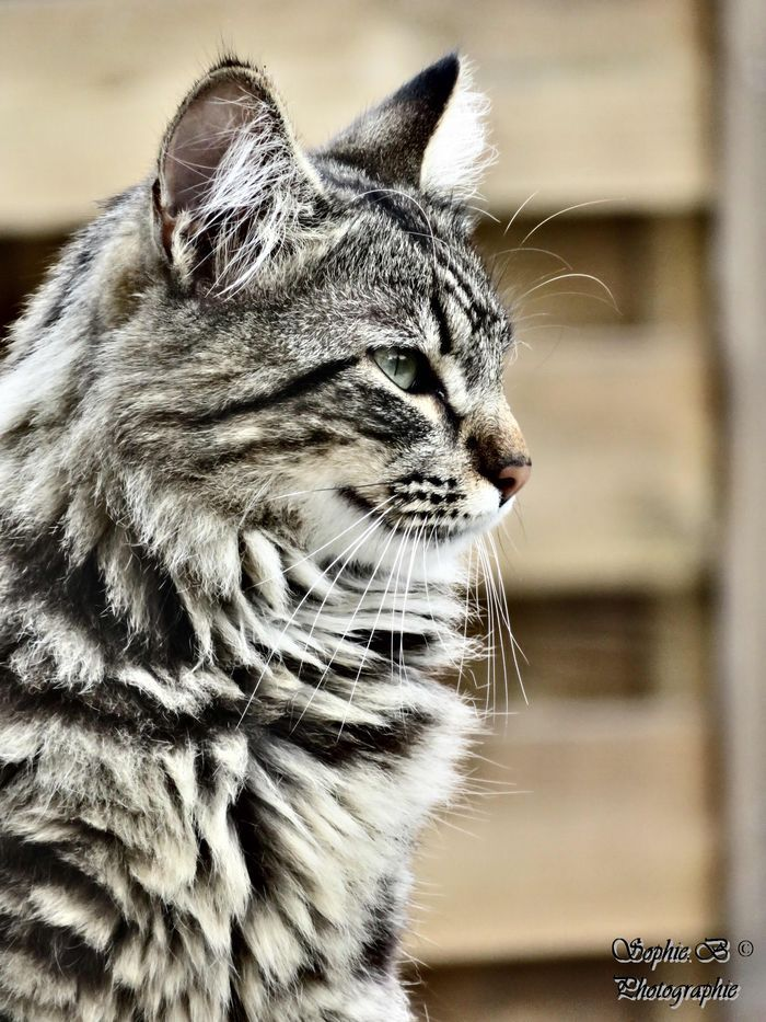 Where to Find Maine Coon Kittens for Sale Fluffy cat