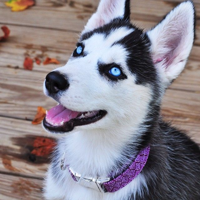 This Is My Newest Addition Yukon Wearing Her Zaley Designs Collar