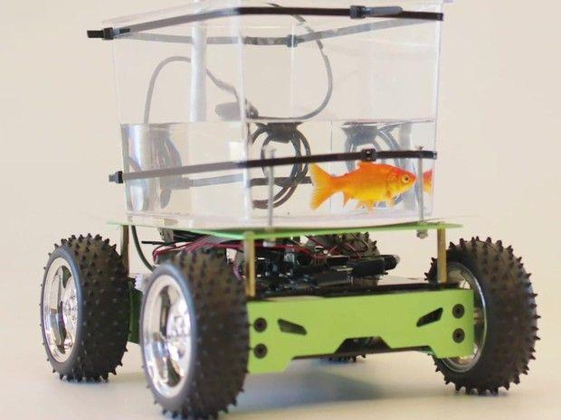 Peixinho-dourado aprende a 'dirigir' em aquário motorizado - O Chatildo