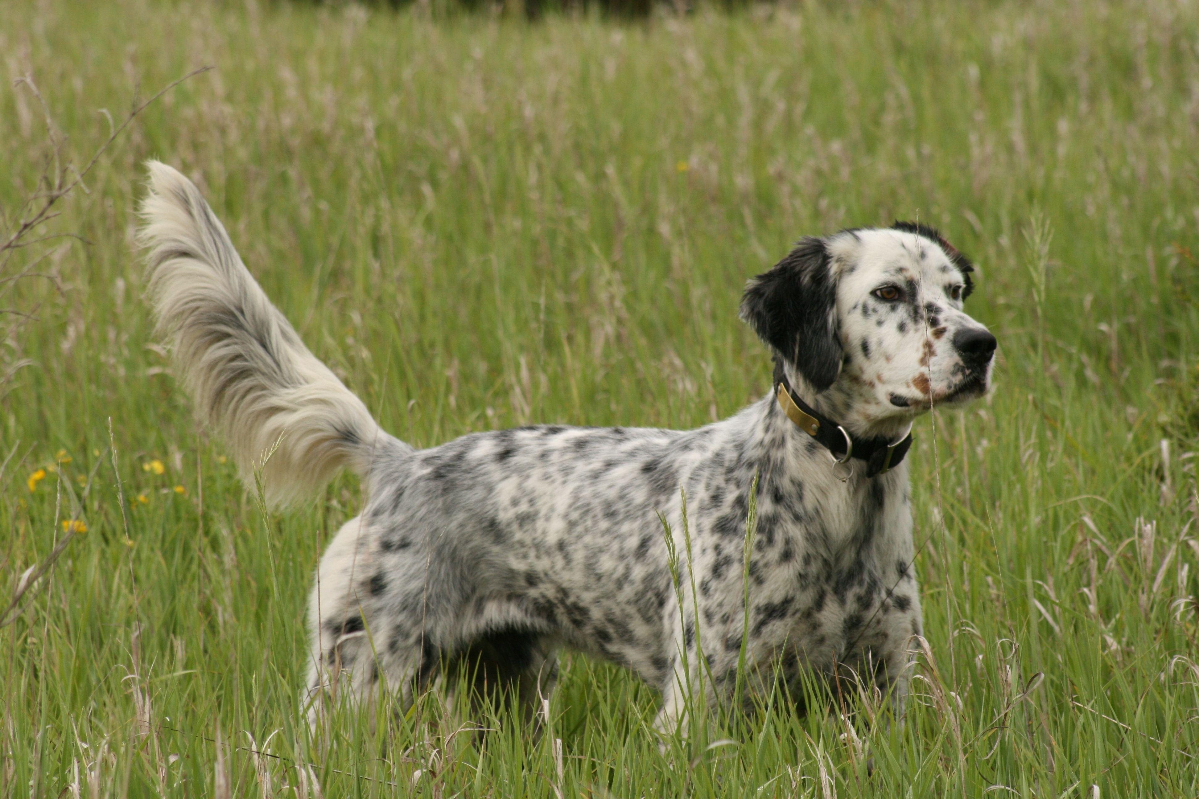 English Setter Dog Breed Information