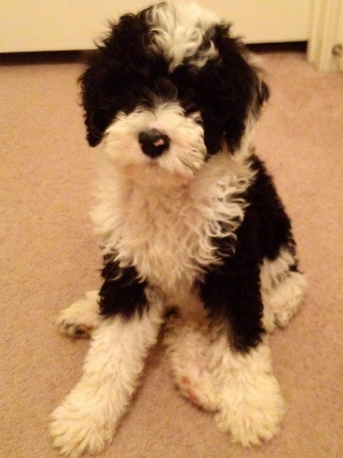 Sheepadoodle 3 Seems Like You Cross A Poodle With Anything