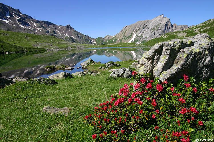 Rhododendrons au lac Jovet (massif du Mont Blanc) - jovet_pennaz_4.jpg