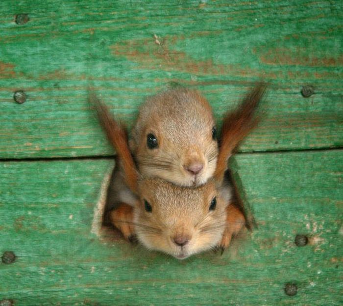 The rules of squirrel-stacking are simple: the fuzzy-eared squirrel always goes on the bottom so that the tiny-eared squirrel can be perfectly balanced!