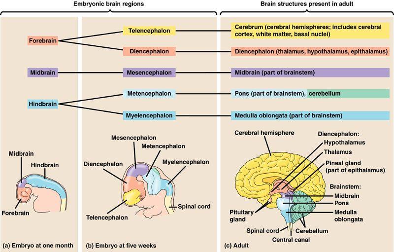 Herbal brain stimulant