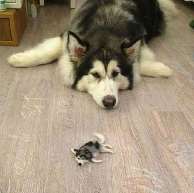 Is This A Husky Puppy Nope A Husky Toy Not Even 2020 Dog