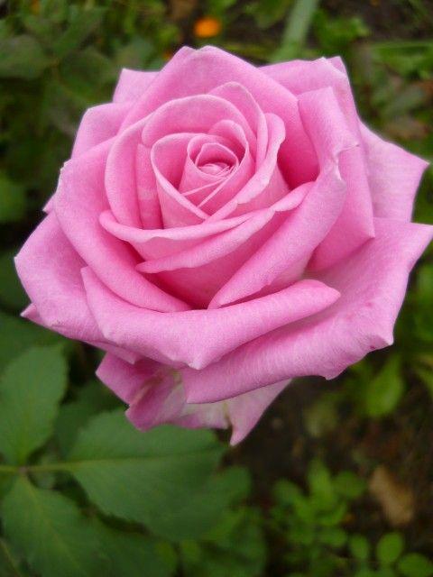 Букет чайные розы фото