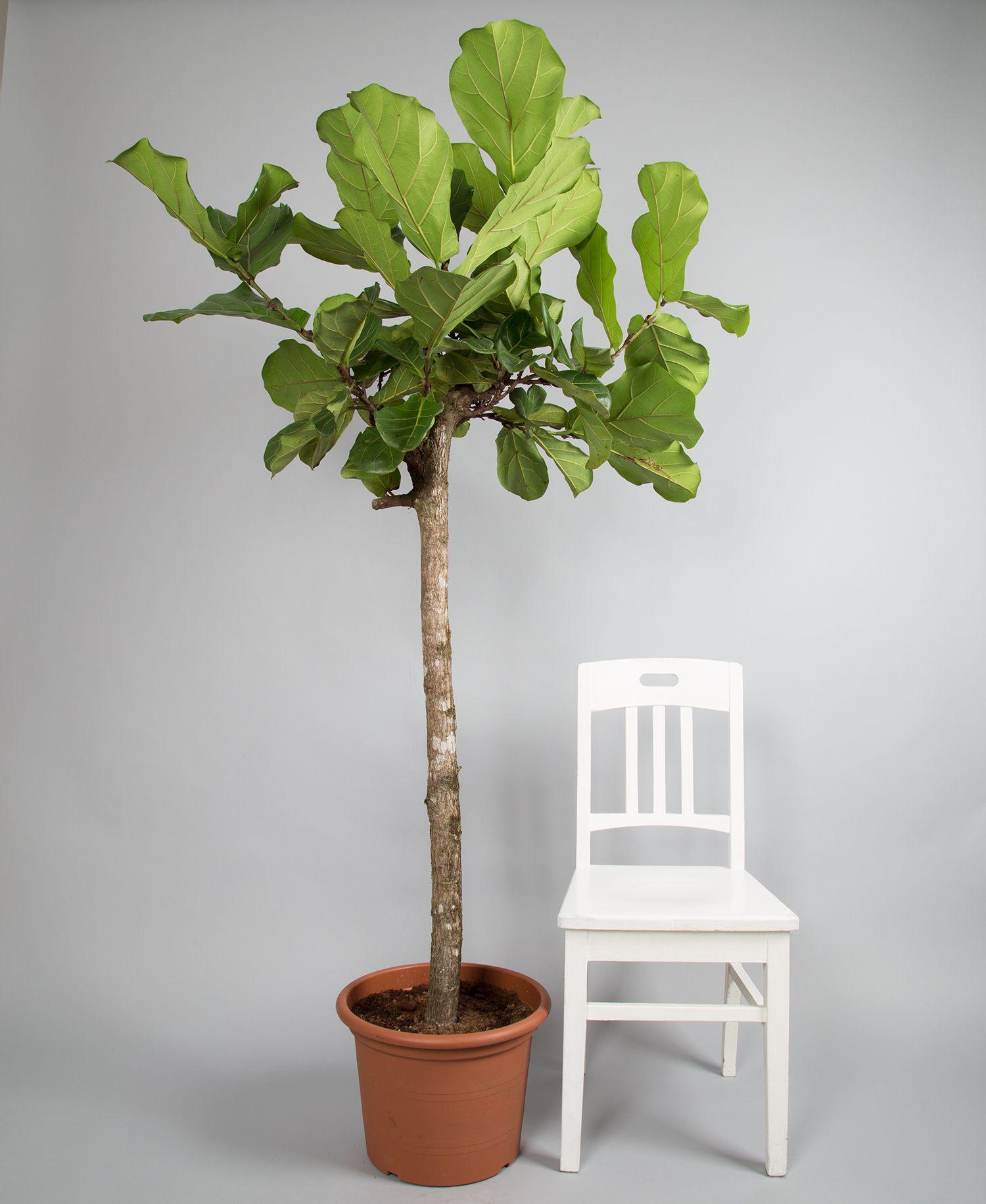 Ficus Lyrata jetzt entdecken 2bloom Ficus, Geigenfeige